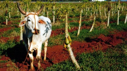 Cuban cattle no longer a cash cow