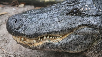 """'Gator attack: """"Oh, my baby!"""""""